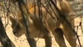 Download Lions Documentary: Lions & Hyenas WARNING!!! Total Destruction *National Geographic Docume Video