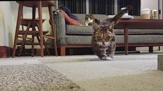 Download A Scuttling Lil BUB Cat Video