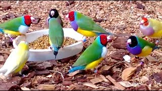 Download Stunning Lady Gouldian Finches feeding Video