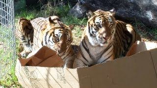 Download BIG CATS like boxes too! Video