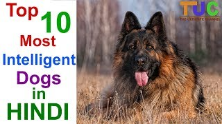 Download Top 10 Most Intelligent Dog Breeds In Hindi - DOGS IN HINDI - THE ULTIMATE CHANNEL Video