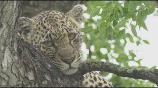 Download Safari Live : Shadow Female Leopard on a kill with her sister Thandi nearby Dec 23, 2017 Video
