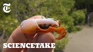 Download Robot Claw Shows Intricacies of Crab Courtship | ScienceTake Video