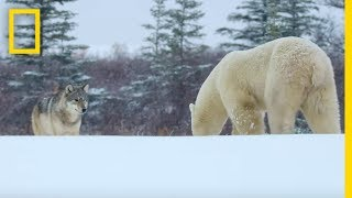 Download Wolf Pack Takes on a Polar Bear - Ep. 1 | Wildlife: The Big Freeze Video