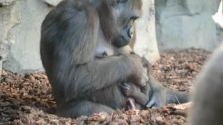 Download La bebé gorila nacida en BIOPARC Valencia cumple 3 meses (#ExperienciasBioparc) Video