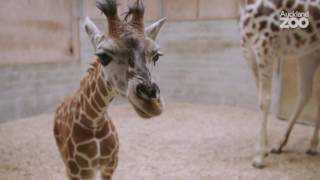 Download Zoo News - Giraffe calf update Video