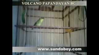 Download BURUNG PLECI JUARA (GARUT) Video