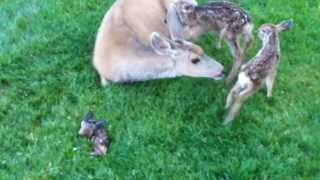 Download Deer Triplets - I Video