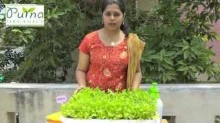 Download How to Grow Coriander in your terrace garden Video