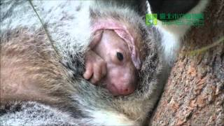 Download Empress小無尾熊出袋 Joey moving in the pouch Video