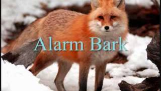 Download Fox Calls Video