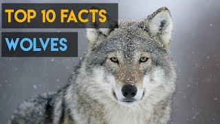 Download 10 Interesting Facts about Wolves Video