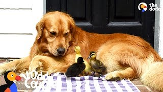 Download Dog Is Mom To A Family Of Ducklings | The Dodo Odd Couples Video