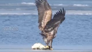 Download Power of Eagle Hunting, Catching Fish & Bird Video