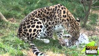 Download BCS - Amur Leopard Cubs 2012 - getting bigger at 13 weeks old Video