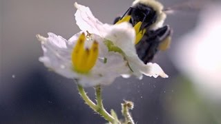 Download Slo-Mo Footage of a Bumble Bee Dislodging Pollen Video