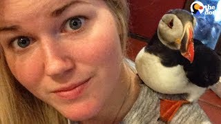 Download Rescued Puffin Spoiled By New Mom | The Dodo Video