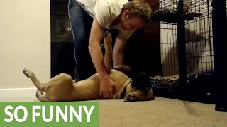 Download Stubborn Bull Mastiff puppy refuses to go to bed Video