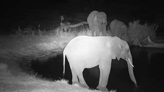 Download Djuma: Elephant herd comes for drink - 18:02 - 07/22/19 Video