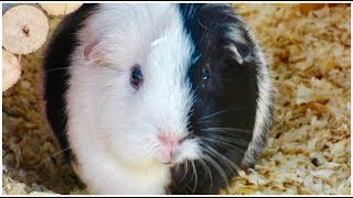 Download Signs Your Guinea Pig Likes You Video