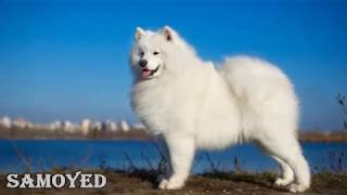 Download Top 10 Most Expensive Dog Breeds in the World 🐕 Video