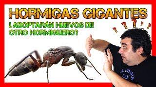 Download 🐜🏠 Hormigas gigantes ¿Adoptarán miembros de otra colonia?   Hormigas en casa ✅ Video