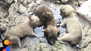 Download Puppies Stuck In Tar Cried Until People Heard and Rescued Them | The Dodo Video