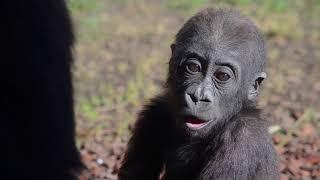 Download El bebé gorila Pepe cumple 1 año en BIOPARC Valencia Video