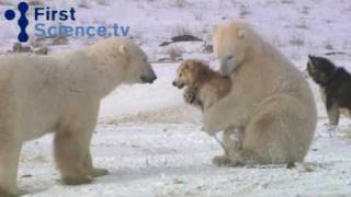 Download Polar bears and dogs playing Video