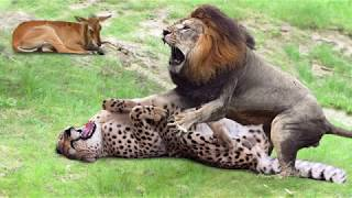 Download Amazing Male Lion Rescue Baby Impala From Five Cheetah Hunt | Animals Save Other Animals Video