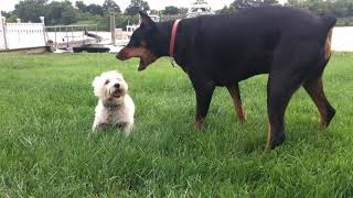 Download Doberman Vs. Westie Video