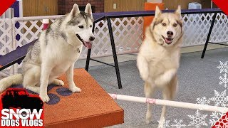Download Huskies Do Agility Practice and Oakley Goes Crazy Video