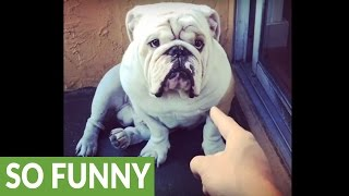 Download Bulldog gets lectured for eating Christmas ornaments Video