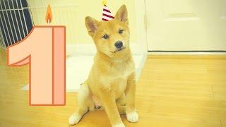 Download HAPPY BIRTHDAY HARU THE SHIBA INU! Video