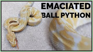 Download Skinniest Ball Python I've Seen - How Will We Help it? Video