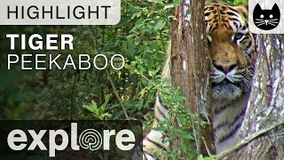 Download Peekaboo Tiger at Big Cat Rescue - Live Cam Highlight Video