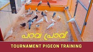 Download പറവ പ്രാവ് | Tournament Pigeon Training | Fort Kochi | Mattanchery | Parava Pravu | Kerala | India Video