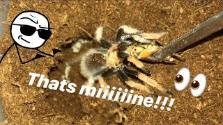 Download FEEDING my TARANTULAS these ANNOYING CRICKETS !!! ~ That's MINE !!! Video