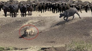 Download Buffalo Herd Save Their Brother From Hungry Pride Of Lions | Lion Hunting Fail Video