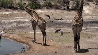 Download Djuma: Impalas and Giraffes - 11:44 - 10/23/18 Video
