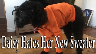 Download Daisy the Toy Poodle Hates Her New Sweater Video