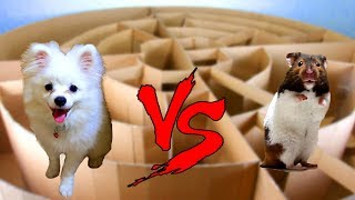 Download Snowball Dog And Hugo Hamster Running In Circle Maze- Calculating Point Contest Video