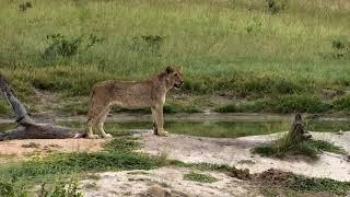 Download Djuma Private Game Reserve Live Stream: lone sub-adult lion Video