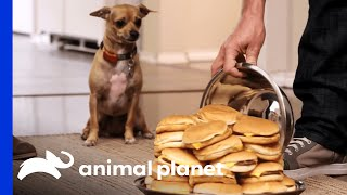 Download Can This Newly-Trained Pup Resist Her Favorite Treats? Even A Huge Plate Of Cheeseburgers?? Video