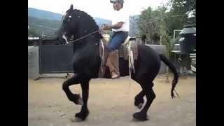 Download CABALLOS BAILADORES Video