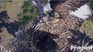 Download SWFL Eagles ~ A Fish From Both; Family Affair Eat & Preen 2.26.17 Video