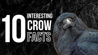 Download 10 Odd and Interesting Facts About Crows and Ravens (North America) Video