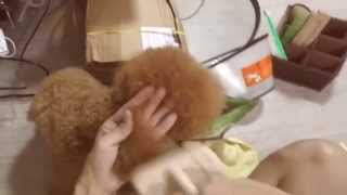 Download Amber Toy Poodle - Grooming Kenzo Video