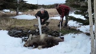 Download Young moose trapped in snowbank, Newfoundland brothers team up for a rescue Video