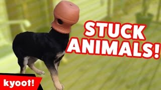 Download The Funniest Animals Stuck In Stuff Home Videos of 2016 Weekly Compilation | Kyoot Animals Video